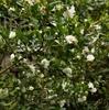 Camellia 'Winter's Snowman'