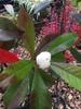 x Gordlinia grandiflora
