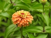 Zinnia elegans 'Queeny Lime Orange' flower