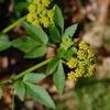 Zizia trifoliata