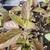 Purple-leaved seedling withy hairy stem.