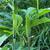 Arisaema heterophyllum