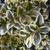 Buxus microphylla var. japonica 'Borderline'