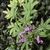 Flower - Aug. 16, Warren Co., NC