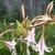 Crinum Hybrid flower