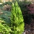 x Hesperotropsis leylandii 'Reco'