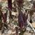 Eucomis comosa 'Sparkling Burgundy'