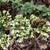 Origanum vulgare subsp. hirtum