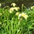 Iris - x - Pseudata - Kinboshi - Sunken Garden , Wake County