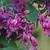 Purple pea-like flowers