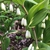 Polygonatum odoratum var. thunbergii 'Variegatum', flower, sprin
