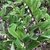 Polygonatum odoratum var. thunbergii 'Variegatum', form, spring,