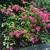 x-bakeri- 'Clyo-Redr' Azalea form (Wake)