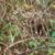 Rubus pascuus