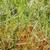Grass-like leaves (Henrietta, NY)-Early Summer