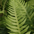 Thelypteris recursive-pinnata