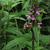 Stachys tenuifolia