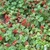 Seemannia nematanthoides 'Evita'