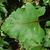 Leaf close-up (Pleasant Garden, NC)-Late Summer