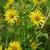 Form in bloom (Niagara Falls, ON)-Late Summer