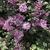 Boomerang - Reblooming Lilac, Wake Co. NC