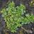 Veronica serpyllifolia
