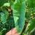 Arrow-head shaped leaves.