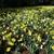 A field of daffodils taken in Hurley Park, Salisbury, NC