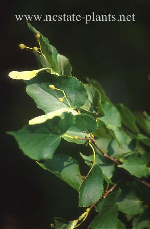 Tilia x euchlora