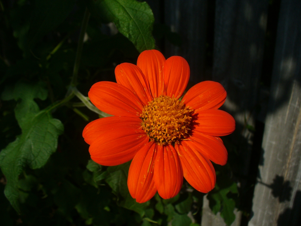 Tithonia rotundifolia flower in summer in Moore County