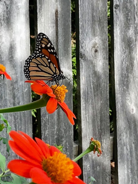 Tithonia rotundifolia with Monarch in the summer in Moore County