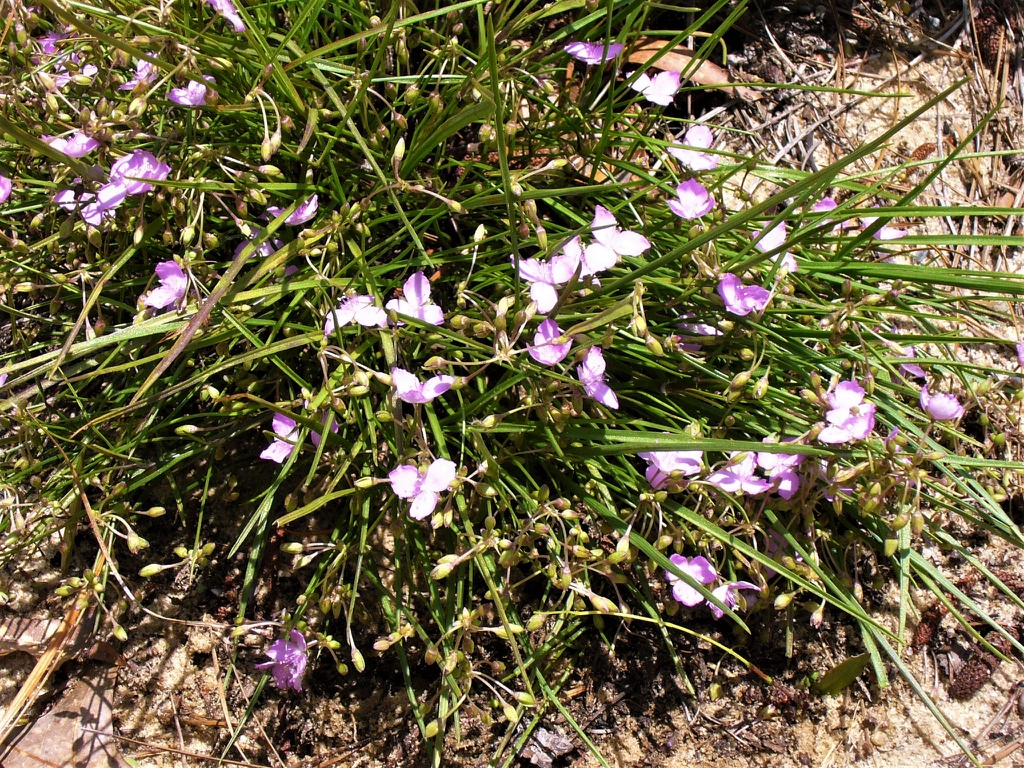 Tradescantia rosea var. graminea in the summer.
