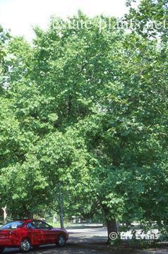 Ulmus parvifolia x U. wallichanan