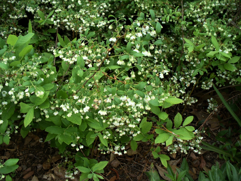 Vaccinium stamineum form in spring in Moore County