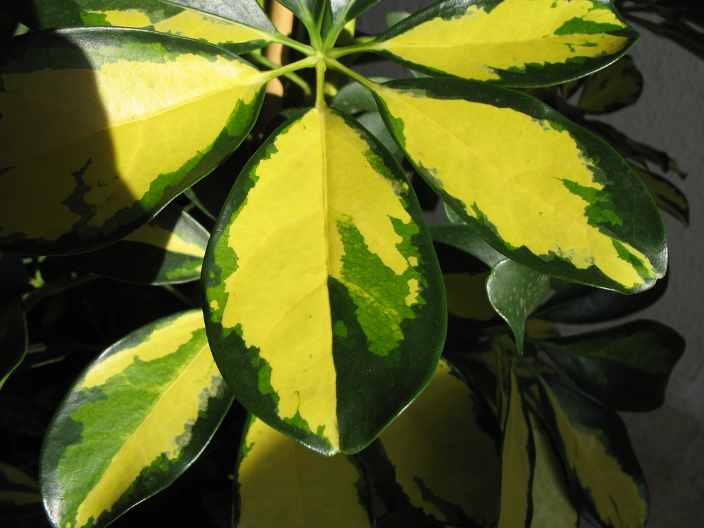 'Variegata' leaves