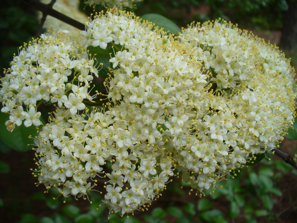 Viburnum rufidulum bloom in spring