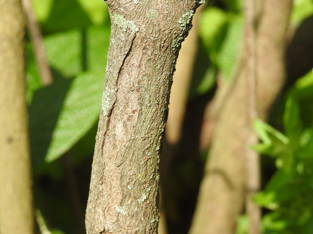 'Interduke' bark