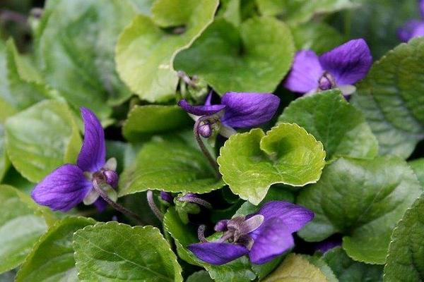 Viola spp.