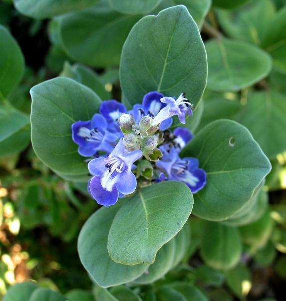 Vitex rotundifolia bloom
