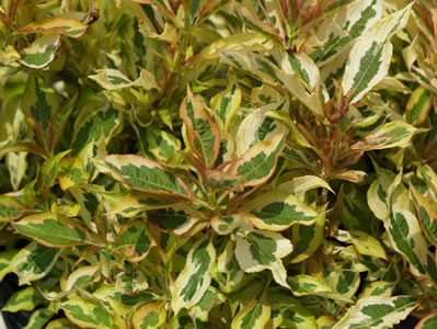 Weigela florida 'Sunset' PP23,212