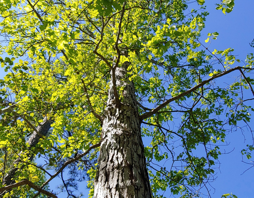 white oak in spring brunswick nature park skdavidson
