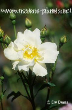 Rosa 'AUSrush'