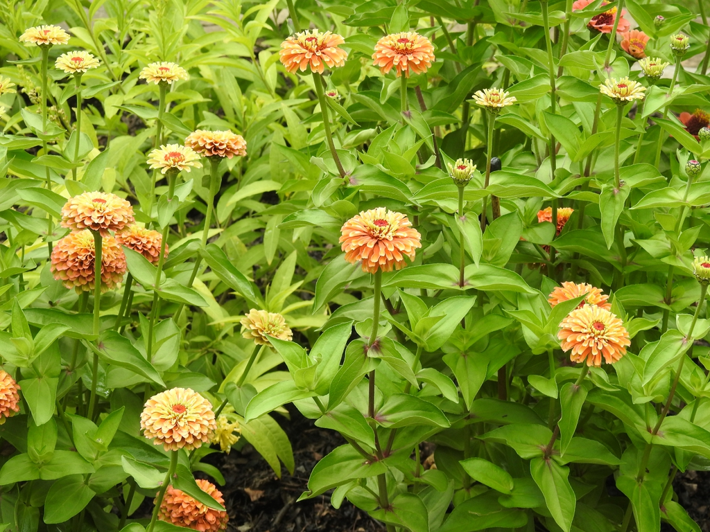 Zinnia elegans 'Queeny Lime Orange' form