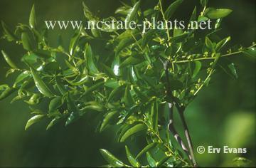 http://www.ces.ncsu.edu/depts/hort/consumer/factsheets/trees-new