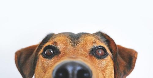 Animo, un rastreador canino que además monitorea su estado de salud