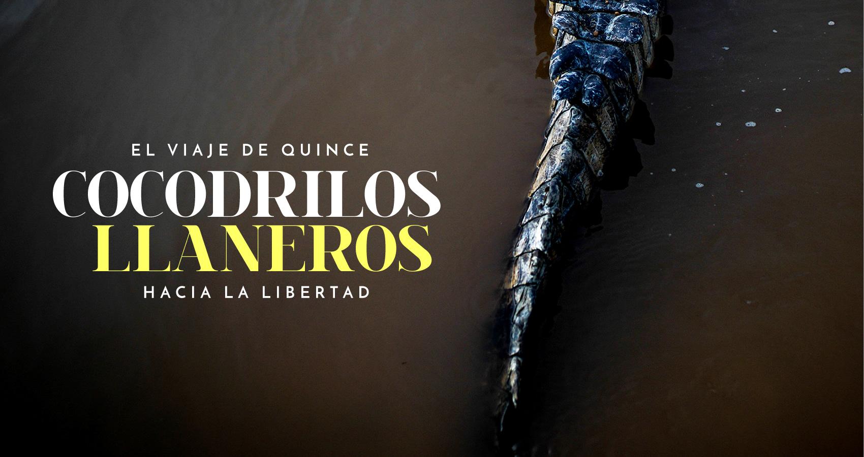 El viaje de quince cocodrilos llaneros hacia la libertad