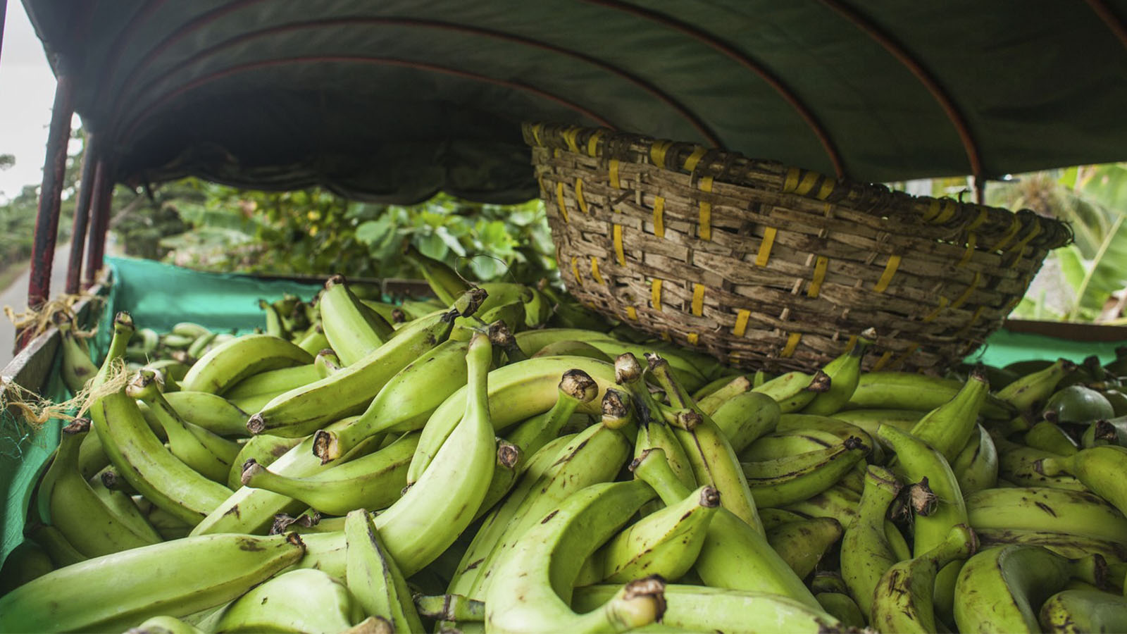 Los millennials de Urabá ya no quieren ser bananeros
