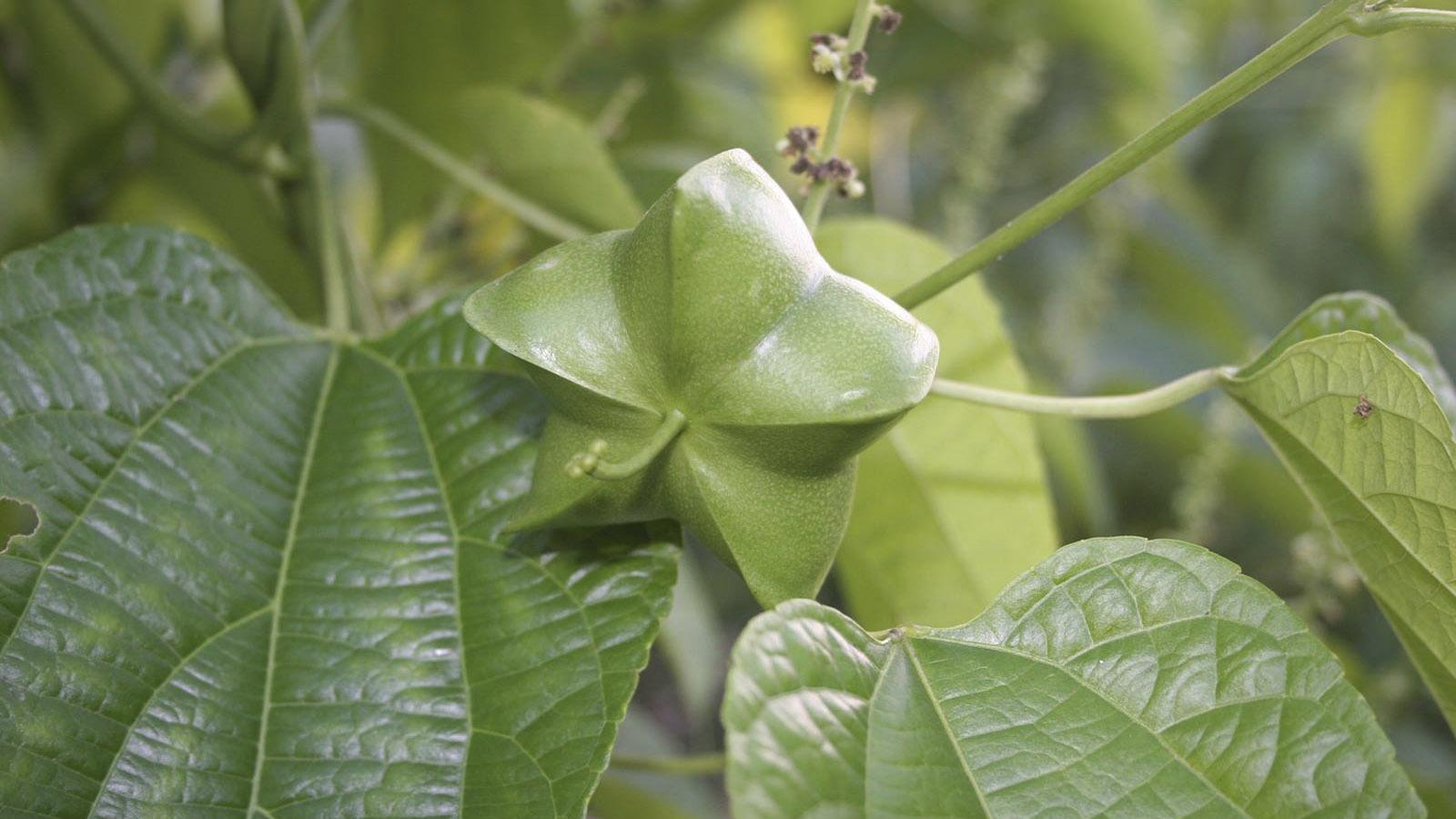 Sacha Inchi, la semilla amazónica que es más rentable que la coca