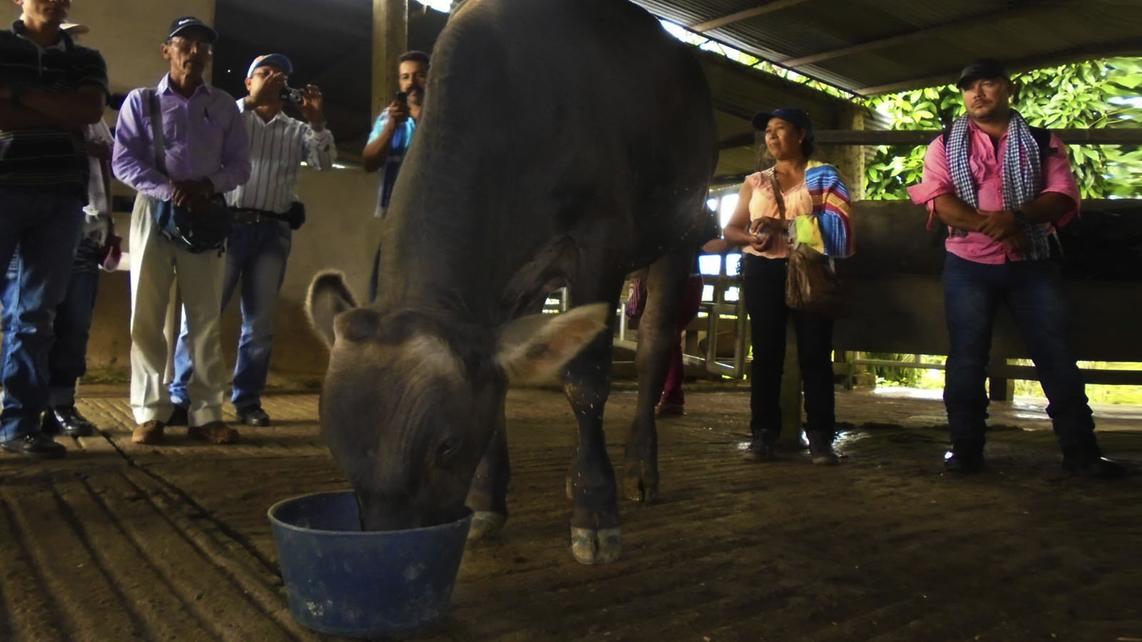 ¿Qué pasa con el negocio de la leche en el Caguán?