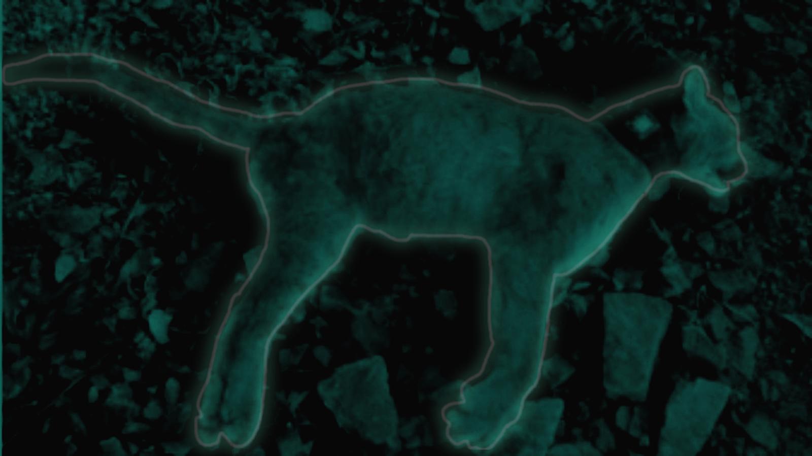 El último viaje del puma que fue envenenado en Briceño, Antioquia